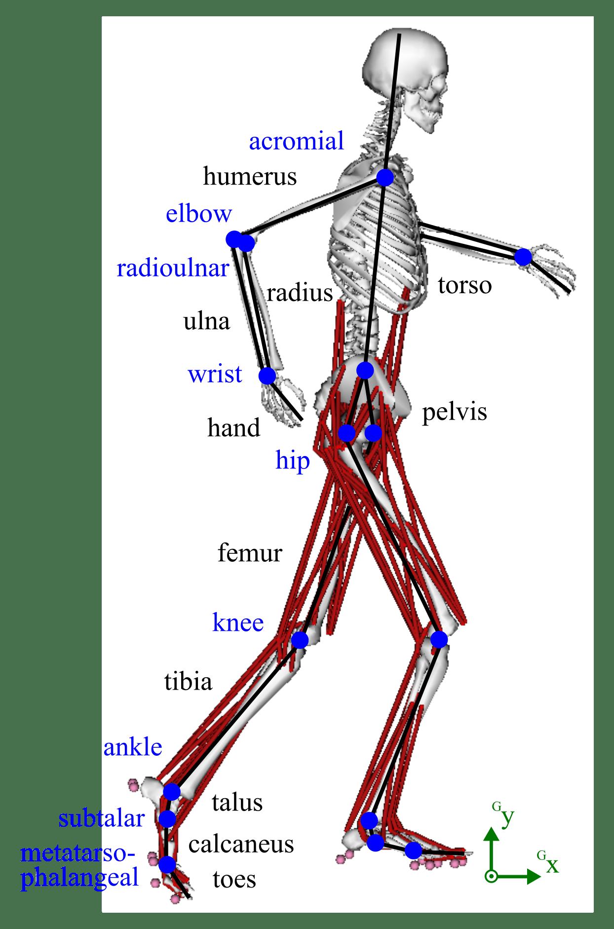3D Musculoskeletal Model